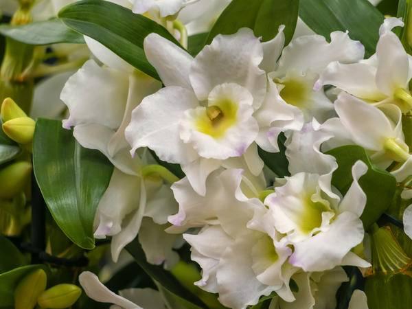 Все о цветении орхидеи дендробиум нобиле. что делать дальше, когда растение отцвело?