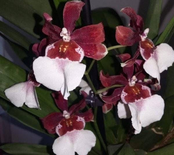Орхидея камбрия: правила пересадки, болезни, уход в домашних условиях. советы для начинающих цветоводов