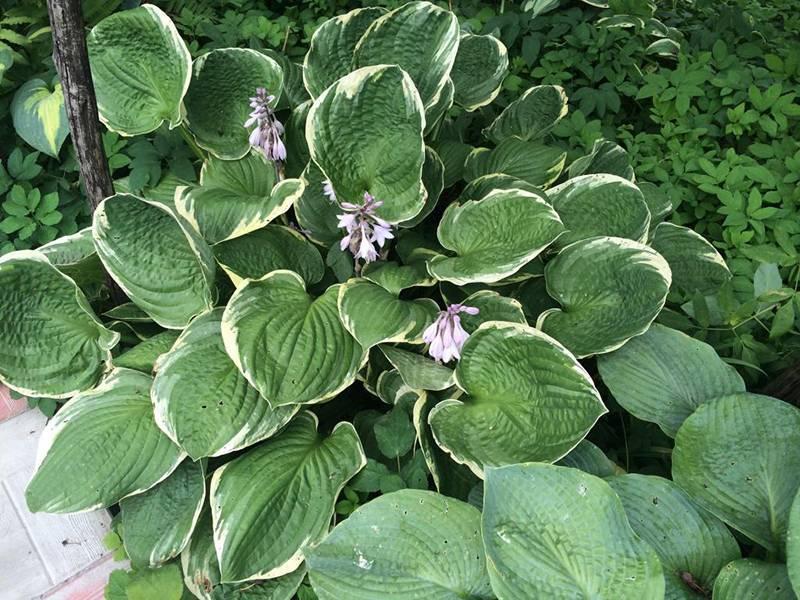 Хоста: новые сорта и агротехника