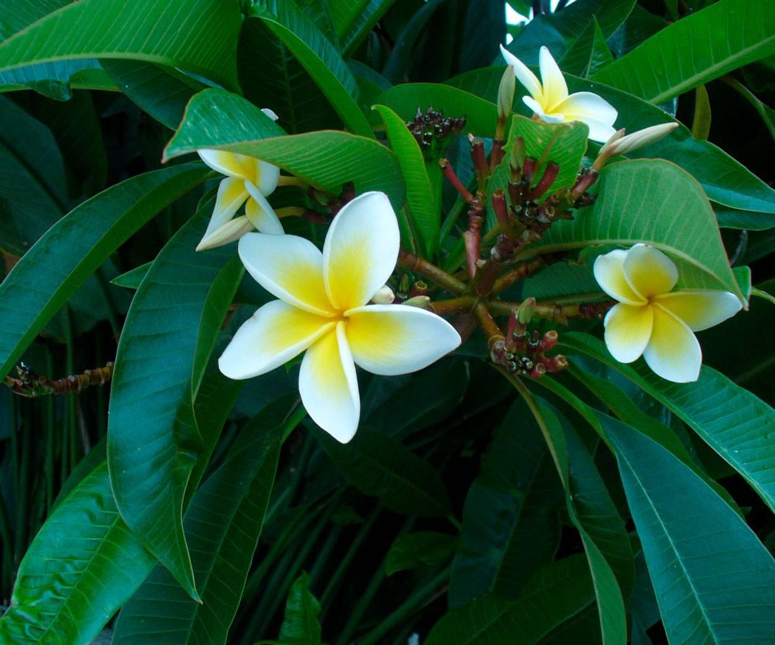 Плюмерия — прекрасный цветок с чудесным ароматом