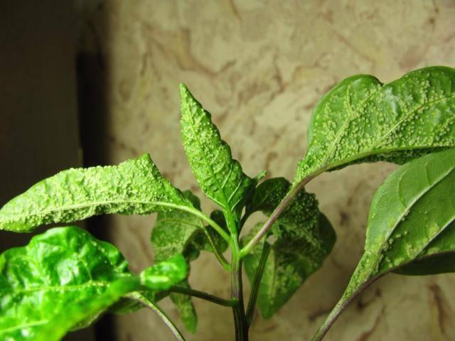 На листьях рассады перца появились странные пупырышки: что это может быть и как лечить?