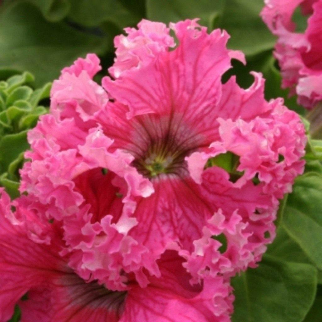 Петуния махровая (33 фото):  сорта «глориас микс» и «дуо бургунди», смесь «глориоза f1», уход за крупноцветковой петунией и ее выращивание в домашних условиях