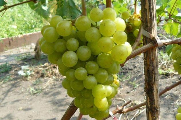 Описание винограда московский белый