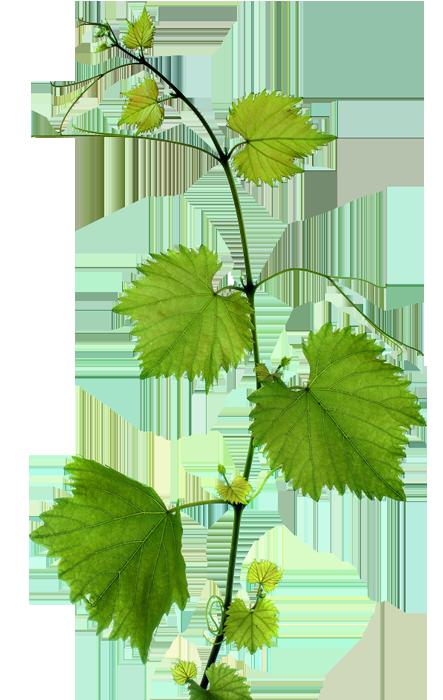 Виноградные листья: польза и вред, рецепты с фото и видео | zaslonovgrad.ru