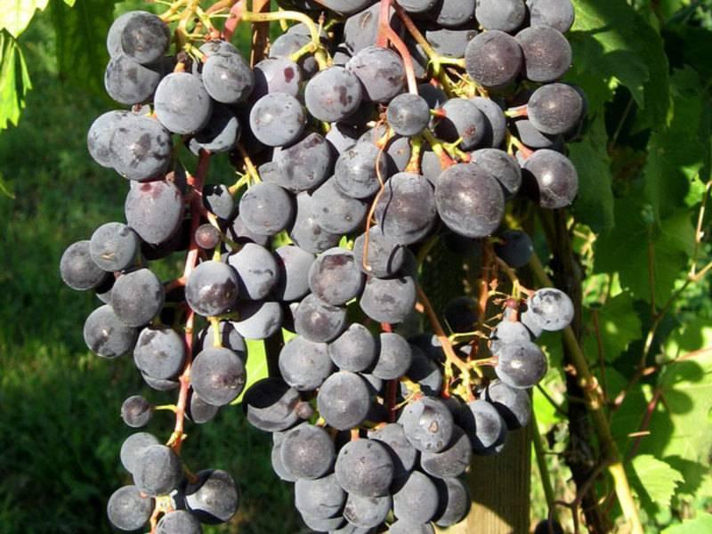 Посадка винограда: как правильно посадить, на каком расстоянии сажать черенками (схема)