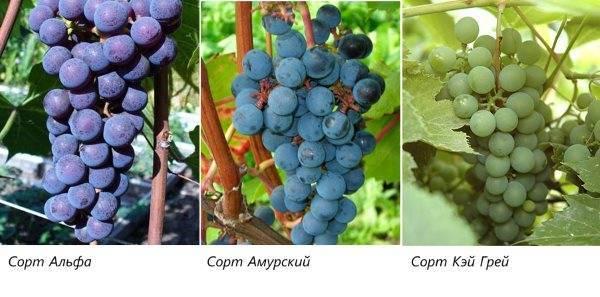 Читать книгу новейшая энциклопедия выращивания винограда николая курдюмова : онлайн чтение - страница 1