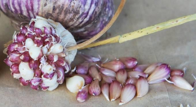 Выращивание чеснока из бульбочек: описание и плюсы метода