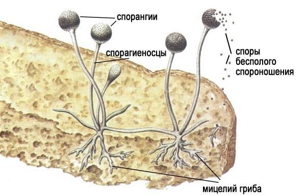 Мицелий у плесневых грибов рода пеницилл и мукор: что собой представляет (+20 фото)?