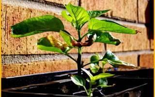 Опадают листья у рассады перцев: почему и что делать, видео и фото
