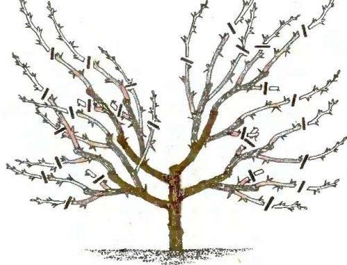 Обрезка вишни осенью: на что стоит обратить внимание
