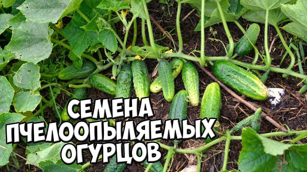 Огурец погребок: описание сорта, выращивание и урожайность с фото