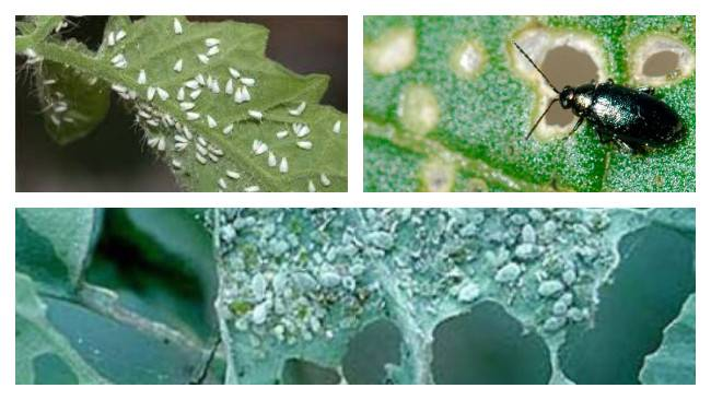 Капустная муха - самые эффектинвые способы борьбы с вредителем