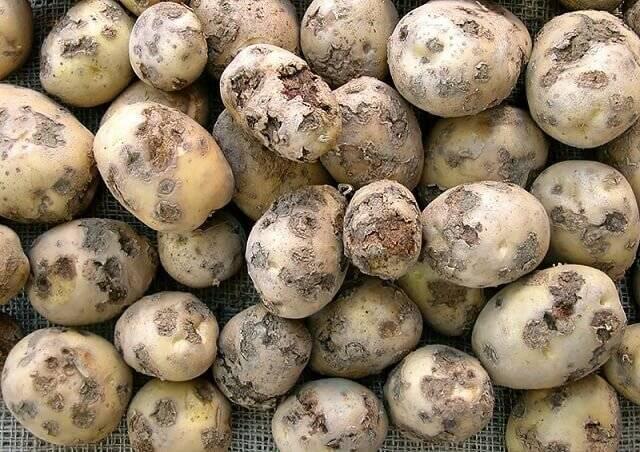 Парша черная картофеля | справочник пестициды.ru