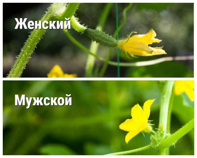 Опылители для огурцы - сам себе сад