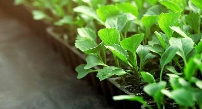 Когда и как пикировать рассаду капусты после всходов