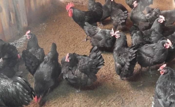Описание породы кур австралорп черный