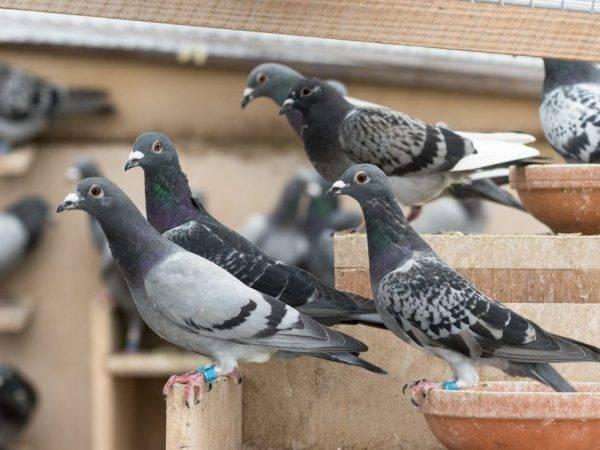 Родотиум инструкция по применению для голубей (фото и видео)
