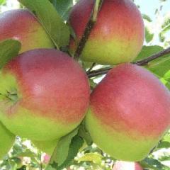 Яблоня башкирский красавец: описание сорта, особенности ухода
