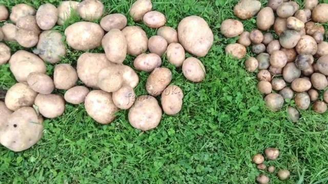 "Сорт картофеля ""синеглазка"""