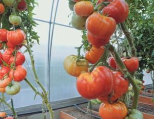 Томат бабушкин секрет отзывы фото урожайность характеристика