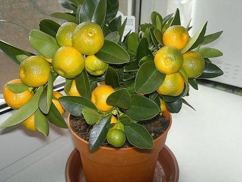 Дерево апельсина в домашних условиях: фото, выращивание в горшке