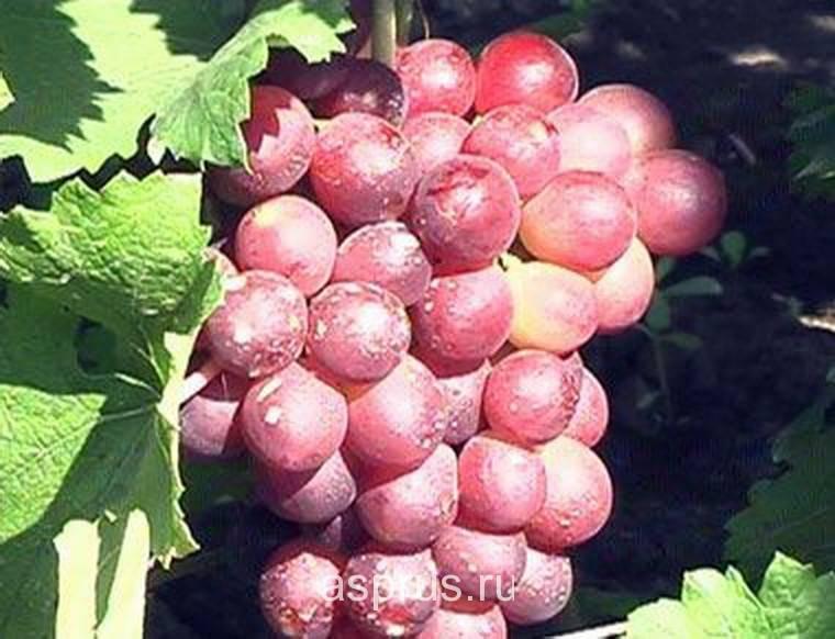 Описание сорта и особенности выращивания винограда «минский розовый»