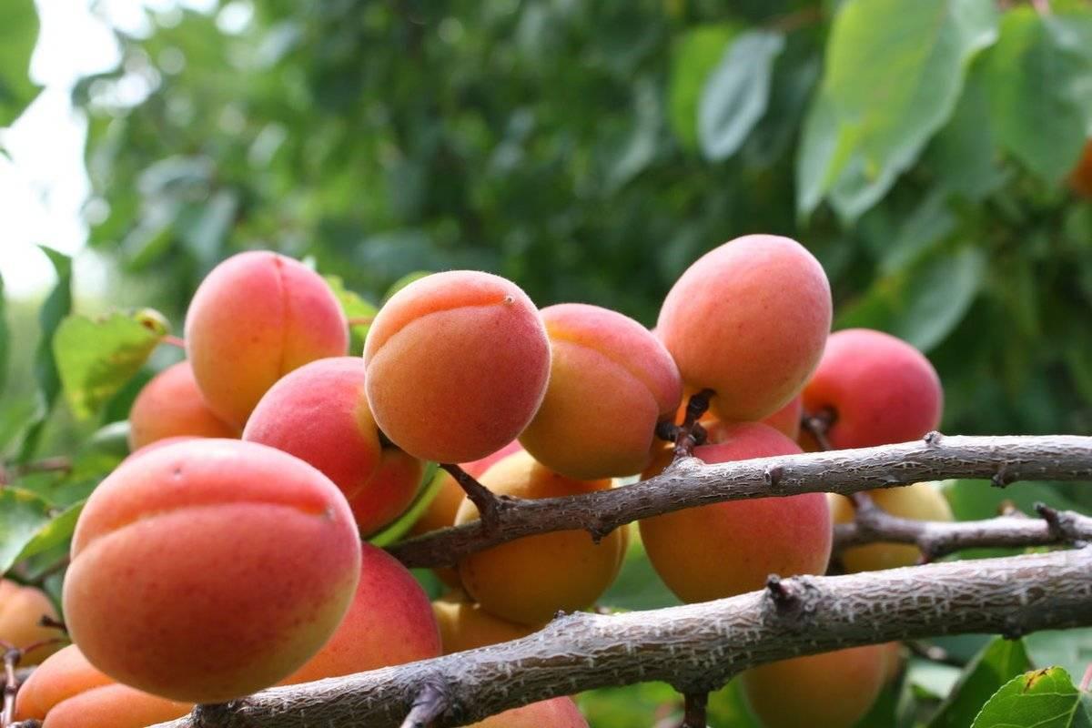 Самоплодные сорта абрикоса для подмосковья