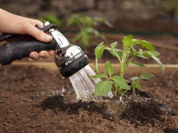 Как поливать рассаду помидоров до и после пикировки: особенности полива поэтапно, их сроки и дозировка  