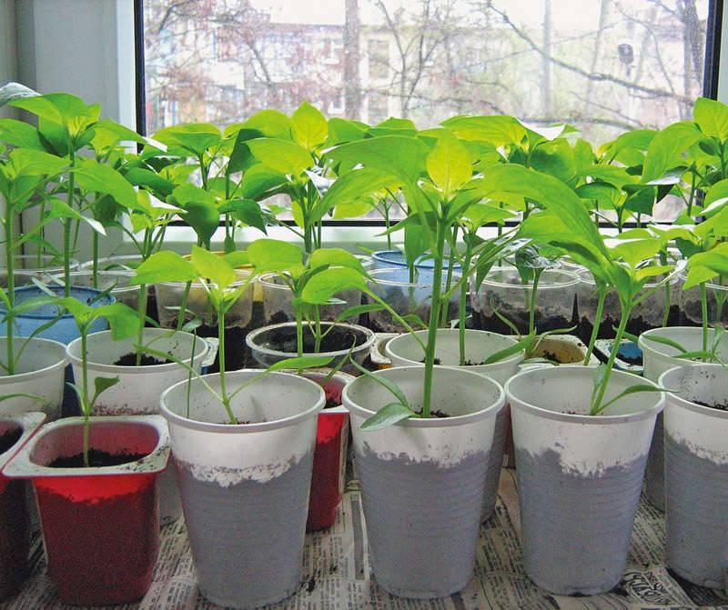 На листьях перца появились пупырышки: причины проявления, методы лечения