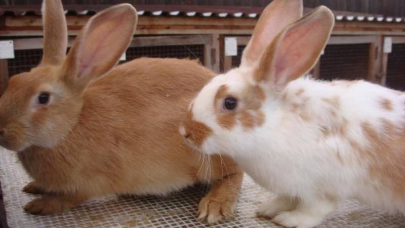 Бизнес на кроликах (март 2021) — vipidei.com