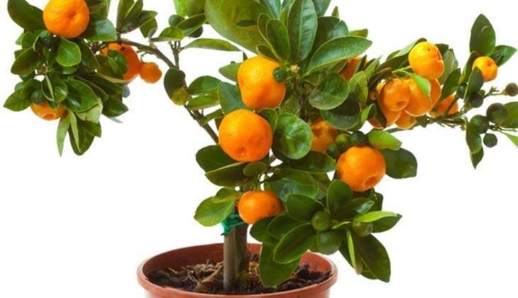 Как вырастить апельсин в домашних условиях из косточки: выбор сорта, посадка и уход