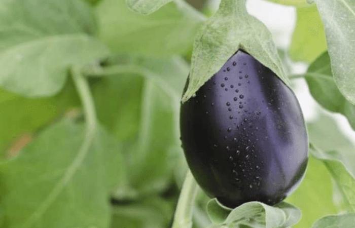 Баклажаны: выращивание в открытом грунте