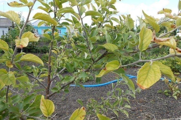 Все болезни листьев яблони: причины, признаки, последствия