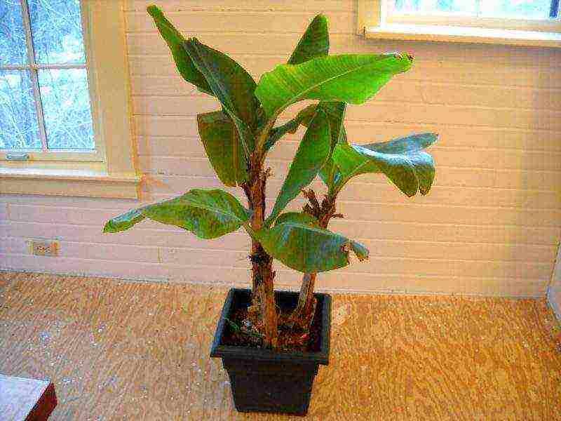 Инструкция по выращиванию из покупного банана дома