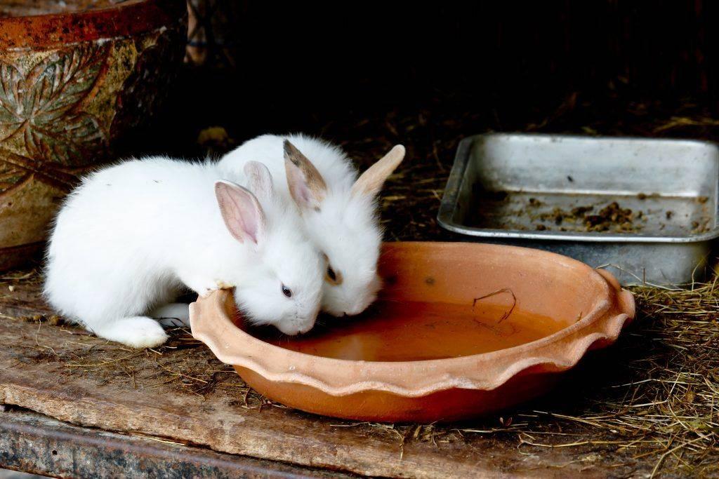 Чем и как выпаивать кроликов