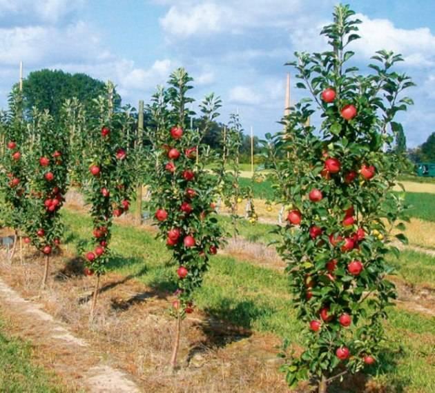 Колоновидные сорта яблонь - описание и фото