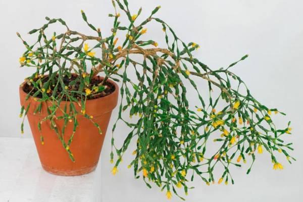Хатиора: фото, уход в домашних условиях, размножение цветка