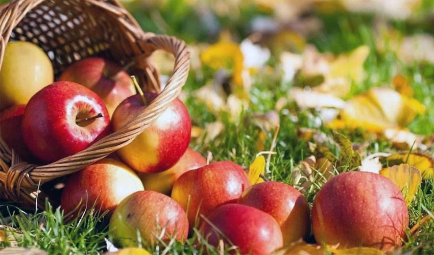 Как правильно сохранить яблоки в домашних условиях? - огород, сад, балкон - медиаплатформа миртесен