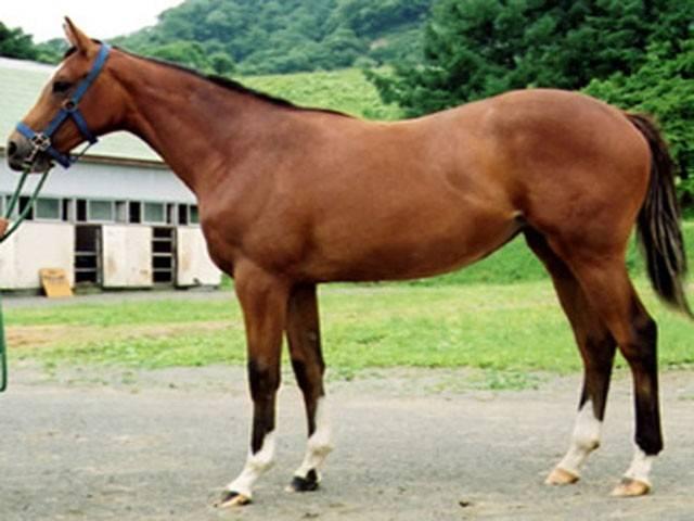 Кабардинская (горская) лошадь: история, описание породы, фото