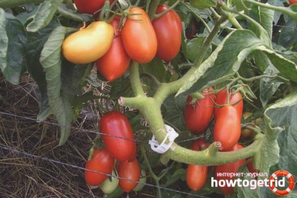 Какие бывают томаты? рассмотрим классификацию