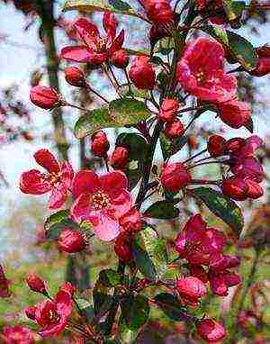 Яблоня декоративная: фото, сорта с красными листьями, в ландшафтном дизайне, цены