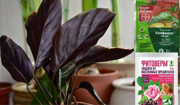Калатея кроката: уход в домашних условиях, болезни и вредители, фото selo.guru — интернет портал о сельском хозяйстве