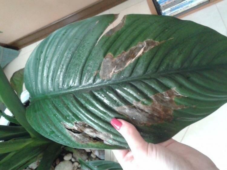 У спатифиллума чернеют листья: причины болезни и лечение - молочай