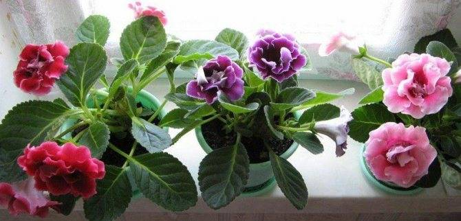 Вырастить из листа глоксинию – это очень просто!