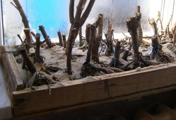 Георгины как хранить зимой клубни купленные в магазине, выкопаные