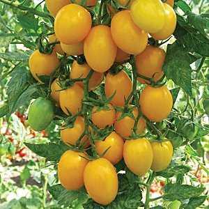 Необычный на вид и потрясающе вкусный томат «медовая капля»