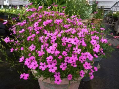 Вискария – выращивание из семян, виды, сорта и уход