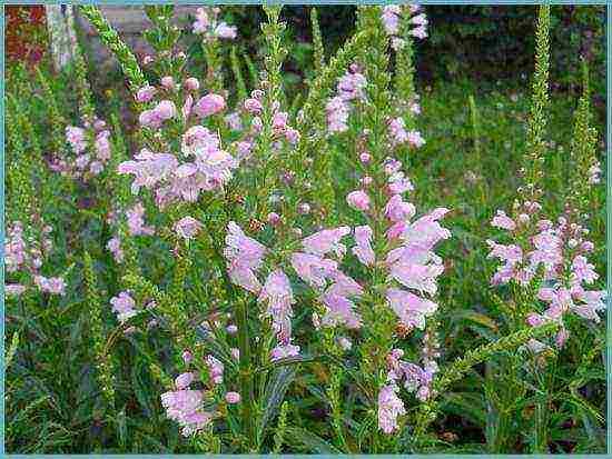 Физостегия посадка и уход фото: правила выращивания растения из семян, популярные сорта, способы размножение, использование в ландшафтном дизайне