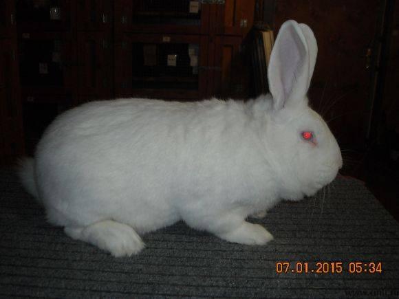 Кролик белый паннон: характеристика и описание породы, фото, особенности содержания - сад и дача