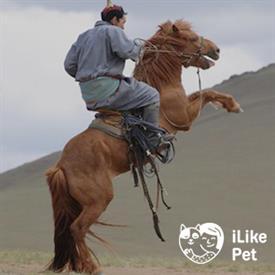 Монгольская порода лошадей: ее описание и фото монгольская порода лошадей: ее описание и фото